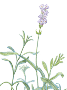 What Are the Benefits of Lavender Oil?